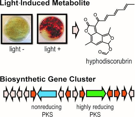 Now You See Me: Discovery of a Light-Induced Secondary Metabolite from Hyphodiscus hymeniophilus Fungus